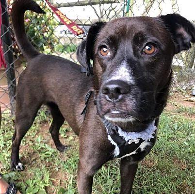 Potomac, MD Labrador Retriever. Meet Sedona a Dog for