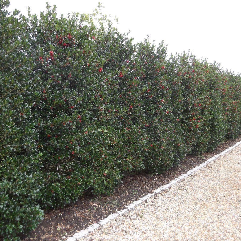 ilex aquifolium hedge english holly   u2013 botanex