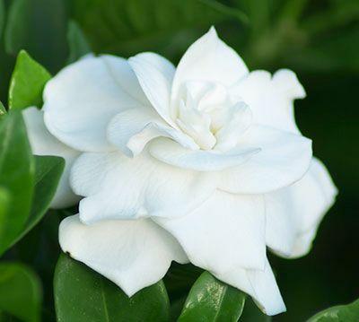 Q Should I Prune My Gardenias Or Azaleas Now Gardenia Plant