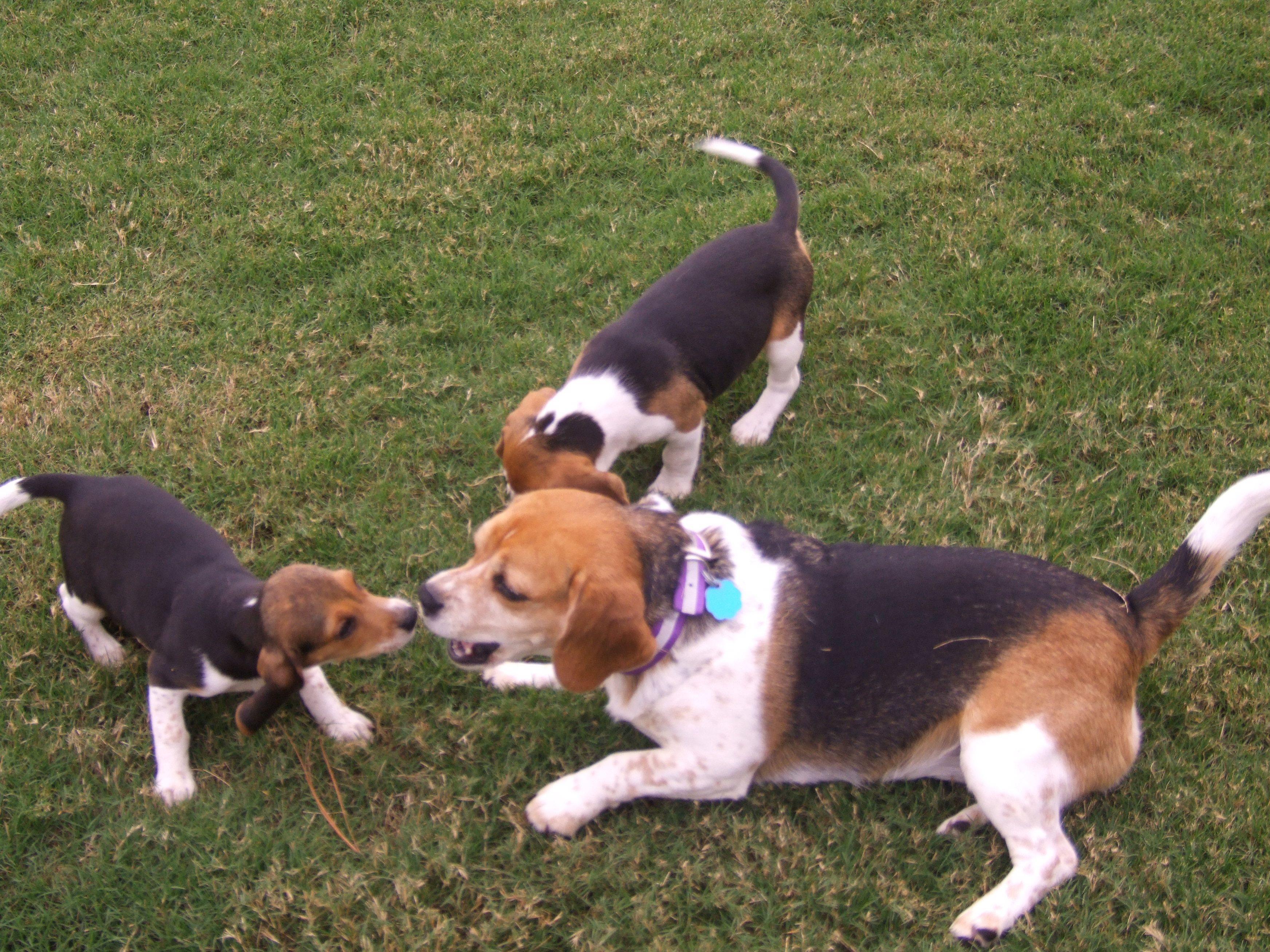 Two against one, no fair!! Baby beagle, Cute puppies