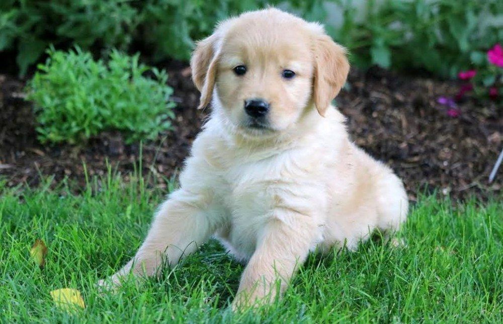 Puppies Golden Retriever Roxy 4 Puppies For Sale In Pa