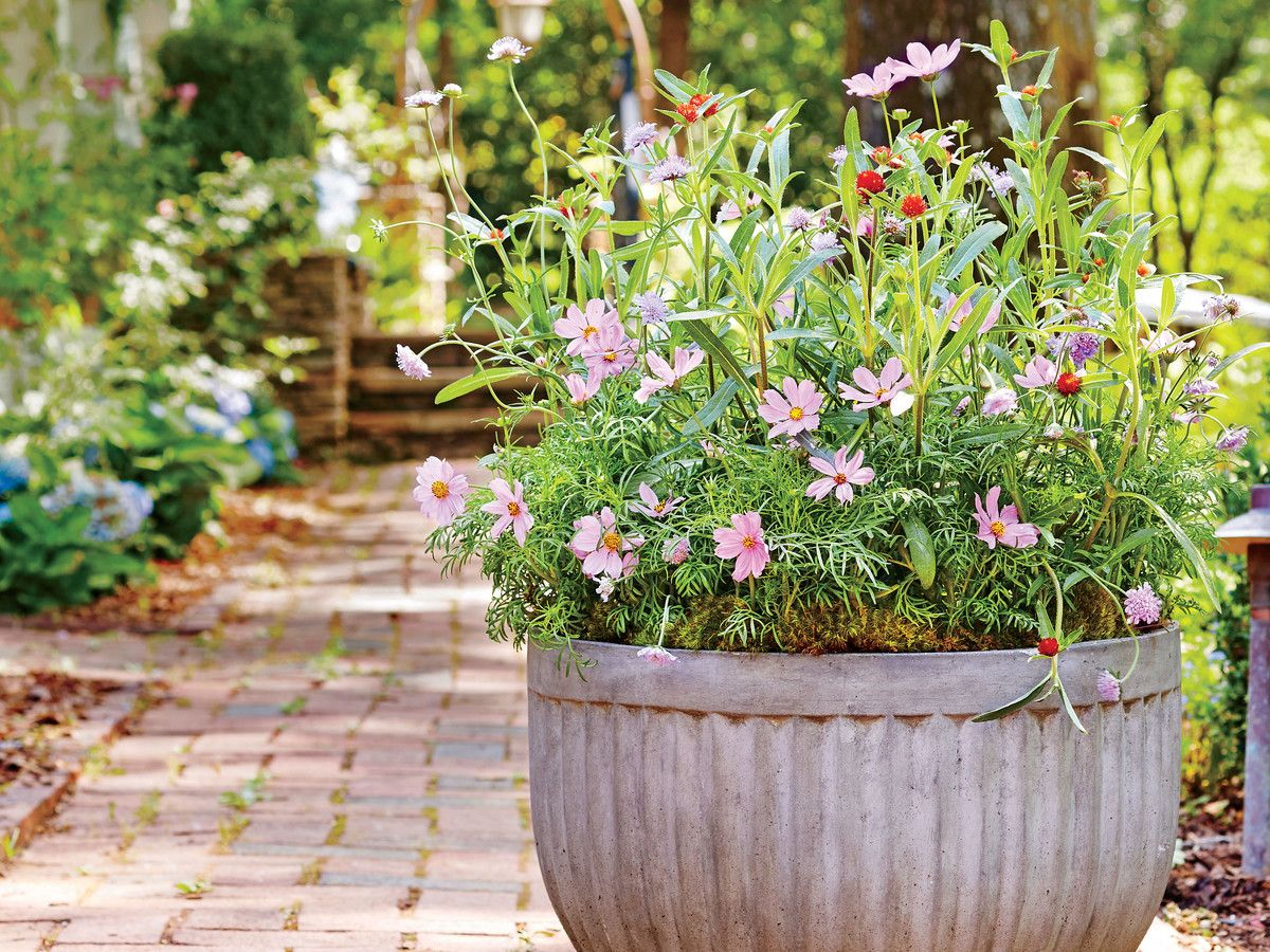 Yes You Can Grow Cosmos In A Container Container Flowers Container Gardening Cosmos Flowers