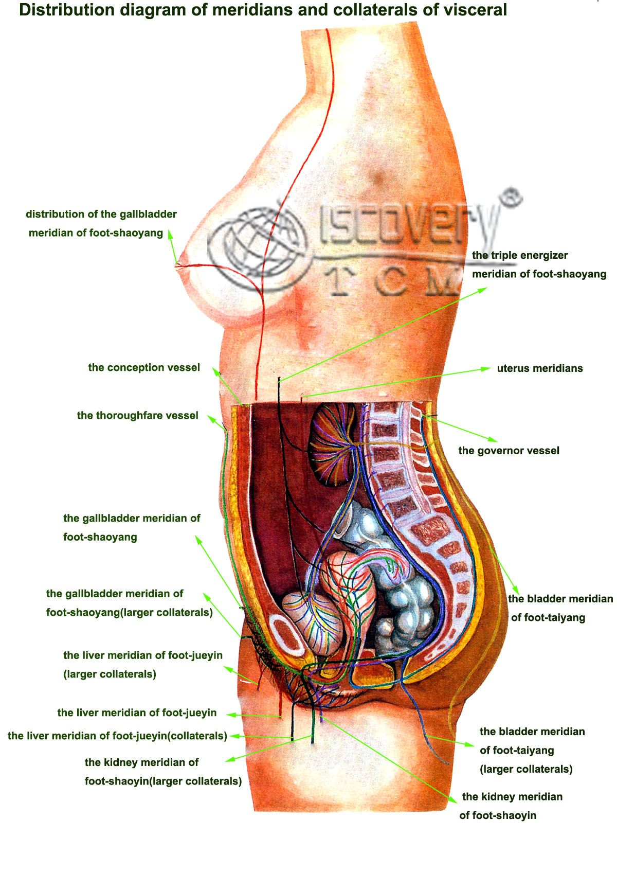 Female Anatomy Diagram Organs Illustrations Human Body Organs