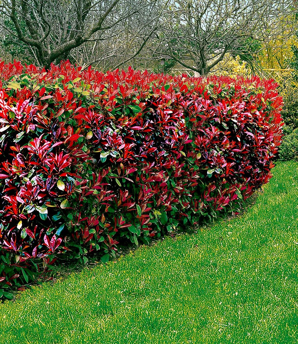 photinia hecke 39 red robin 39 garten garten immergr n und garten ideen. Black Bedroom Furniture Sets. Home Design Ideas