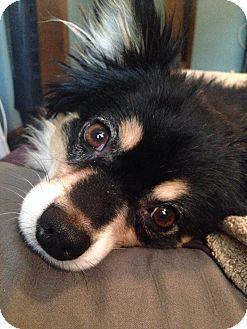 Prairieville La Pomeranian Border Collie Mix Meet Cali A Dog