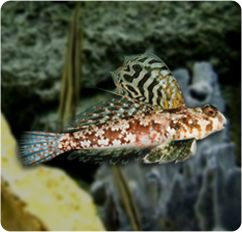 Scooter Blenny Ocellated Dragonet Synchiropus Ocellatus Cool Fish Fish Pet Fish