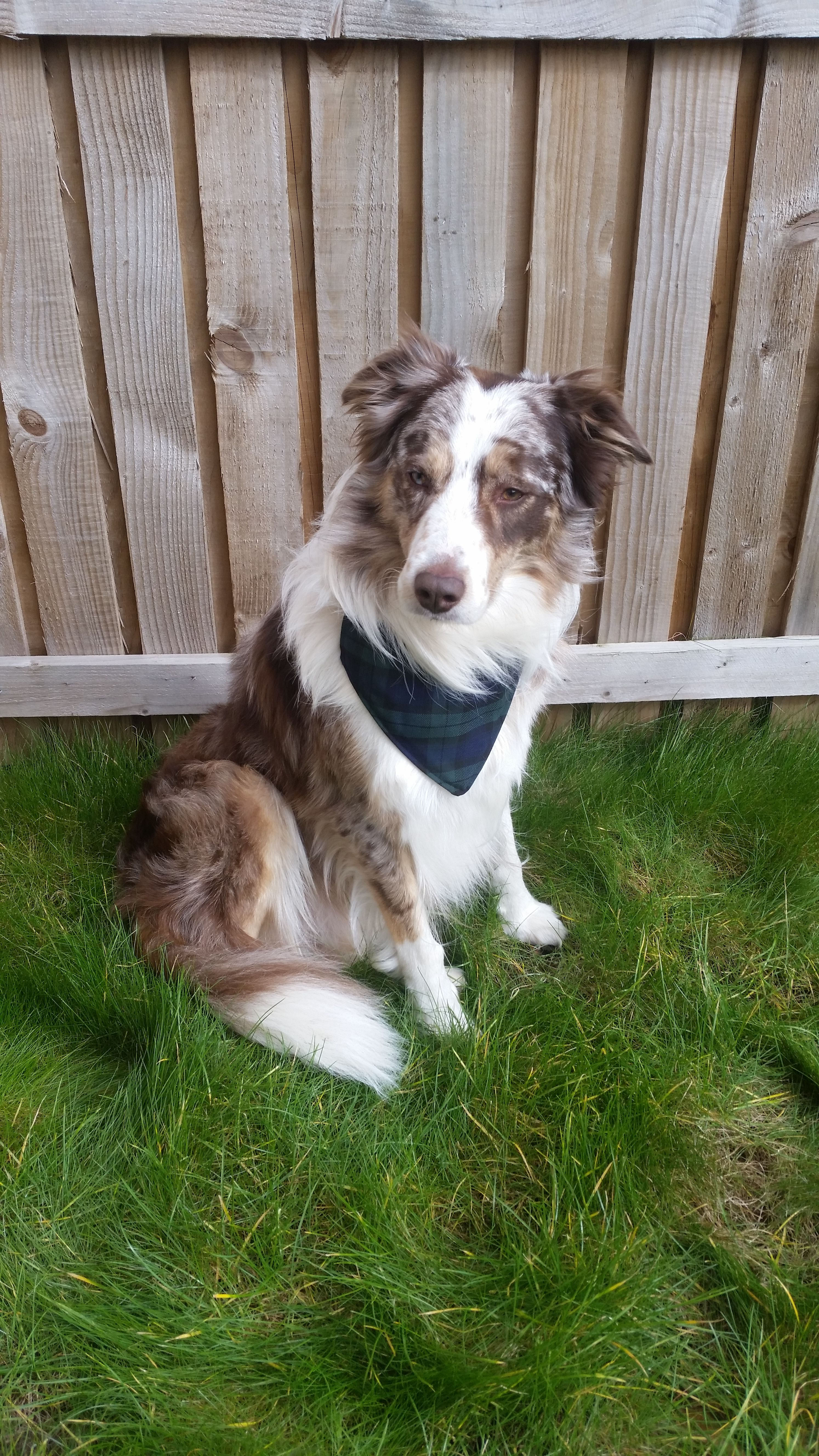Harley The Border Collie Wearing His Tartan Dog Collar With