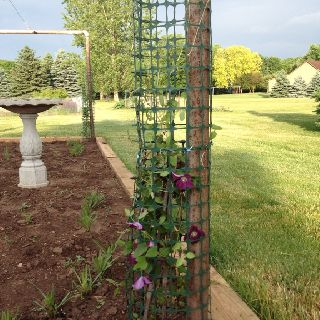 Turned Old Clothesline Poles Into Trellises For My Clematis