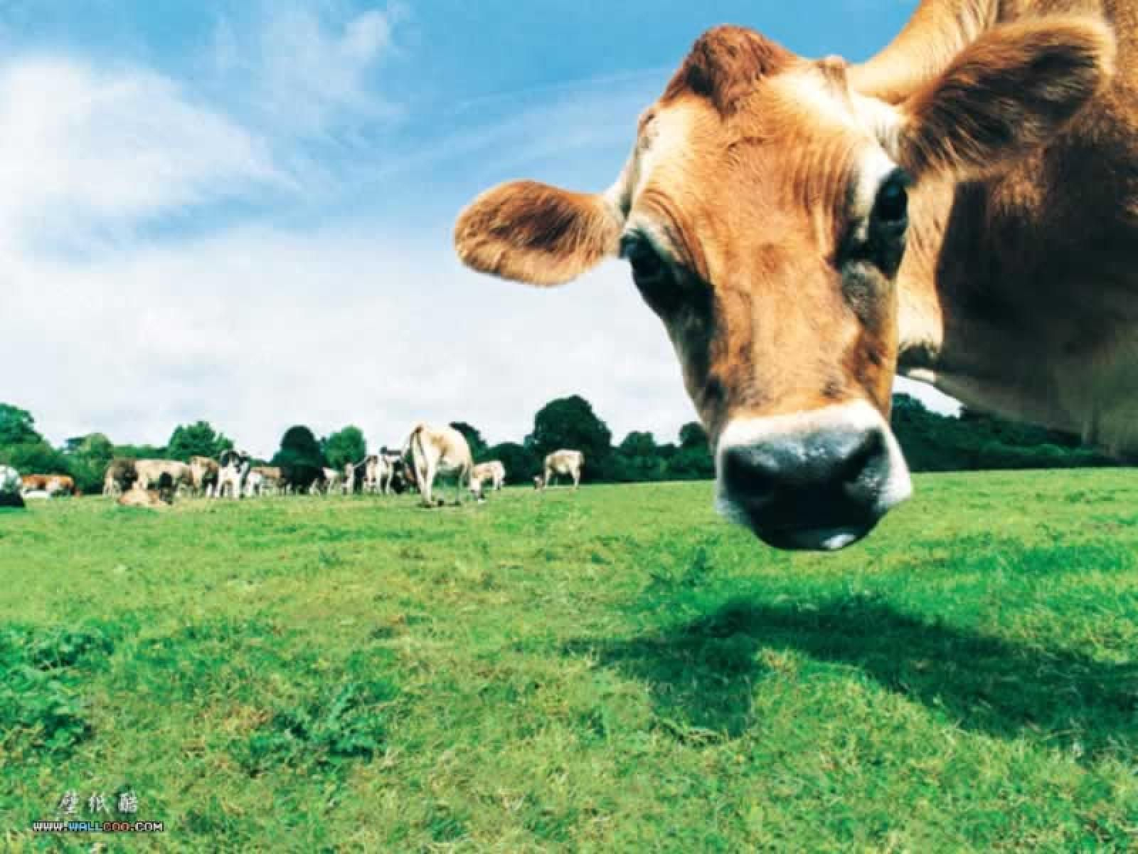 Cow Backgrounds Wallpaper 1600x1200 Picture Wallpapers 44