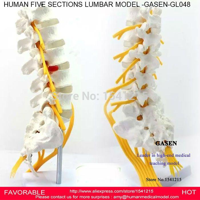 Lumbar Cauda Equina Modellumbar Spine Sacrum Coccyx Spinal Nerve