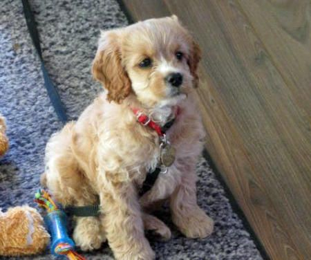 Rosie the Cocker Spaniel Mix Pictures 866026 I want one