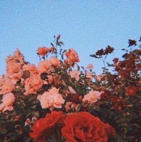 Rose flower red love aesthetic | Flower aesthetic