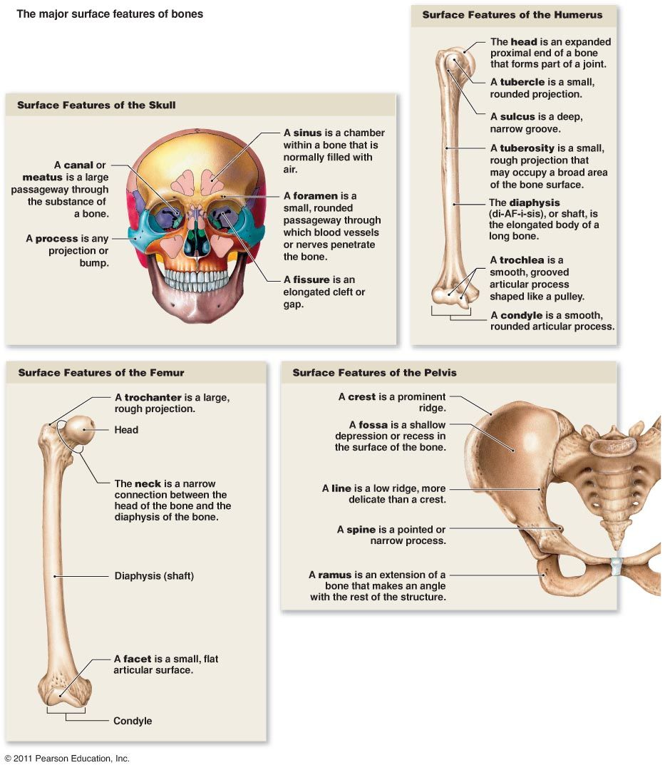 Types Of Bone Markings Bone Surface Markings Depressions And