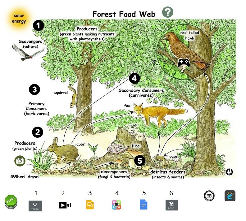 Forest Food Chains Student Project By Laura Moore Food Chain Student Project Food Web