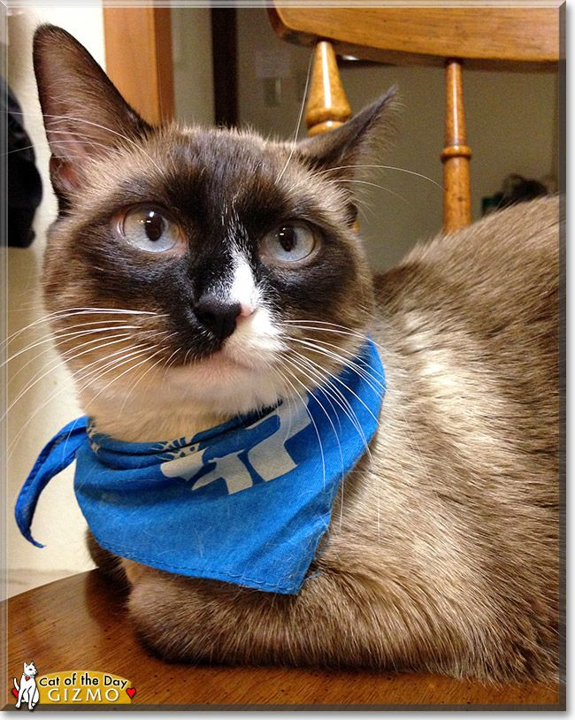 Read Gizmo's story the Siamese mix from Portland, Oregon
