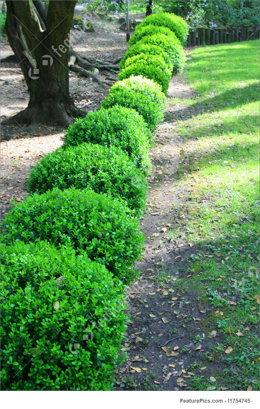 image of japanese boxwood shrubs close up of a row