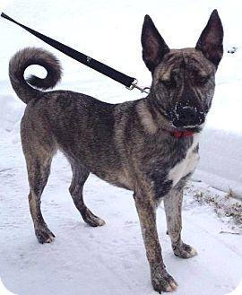 Ridgewood Ny Norwegian Elkhound Dutch Shepherd Mix Meet Vinny