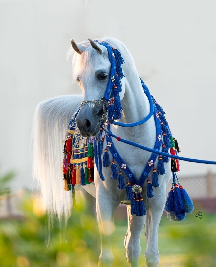 Ft Shaella Arabian Egyptian Stallion Horses Friesian Horse Arabian Horse