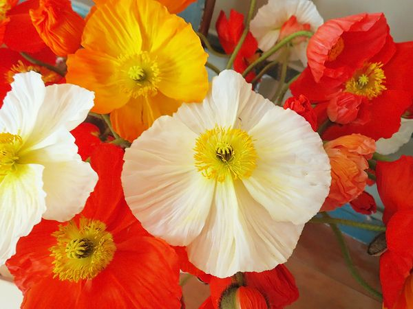 The meaning behind red yellow and white poppies flowers the meaning behind red yellow and white poppies mightylinksfo