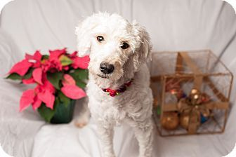 Irvine Ca Poodle Standard Terrier Unknown Type Small Mix