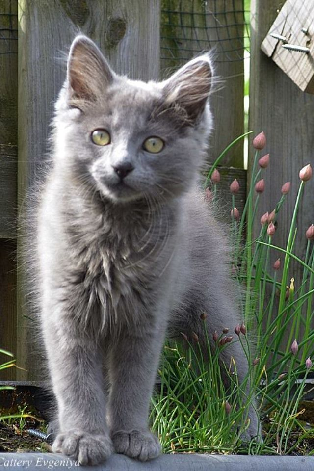 20 Most Popular Long Haired Cat Breeds Cat Breeds Nebelung Cat