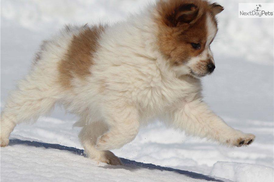 Pomeranian Puppy For Sale Sparkey Cute Animals Pomeranian