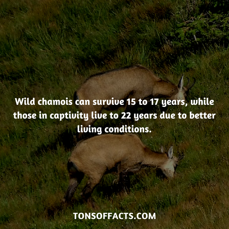 25 Fun And Weird Facts About Chamois (With images) Shark