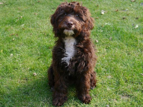 English Springer Spaniel Poodle Mix
