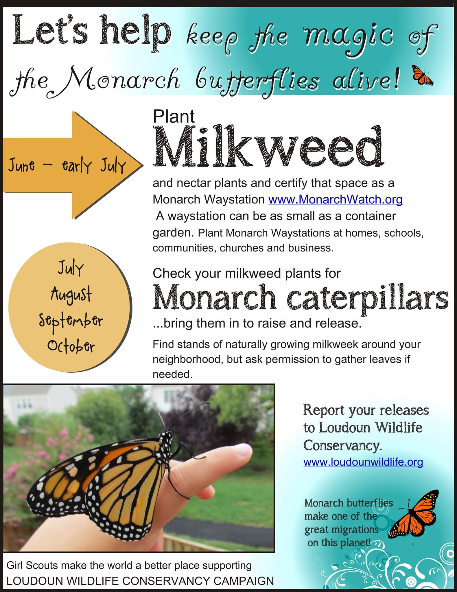 Monarch Butterflies, Almost Time To Find Some Caterpillars