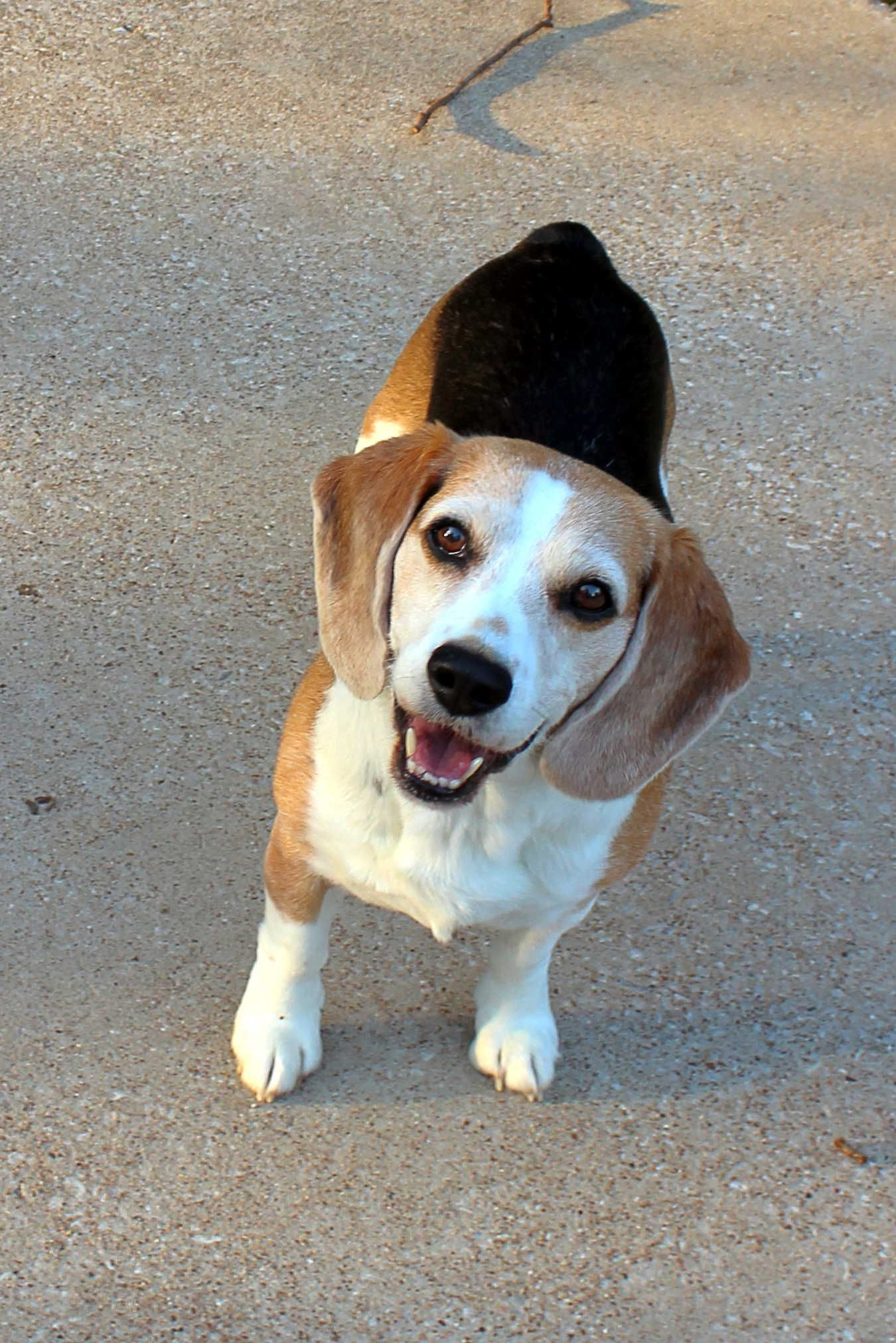 Beagle Dog For Adoption In Mansfield Tx Adn 533694 On