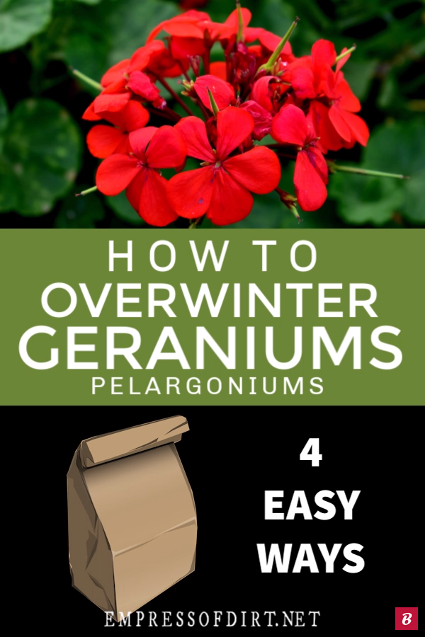 Keep Geraniums Pelargoniums For Next Year There are four easy ways to keep your favorite geraniums Pelargoniums safe for the winter and replant them in spring