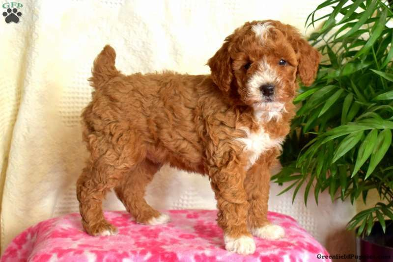 Bentley Greenfield Puppies In 2020 Poodle Puppies For Sale Miniature Poodle Puppy Poodle Puppy