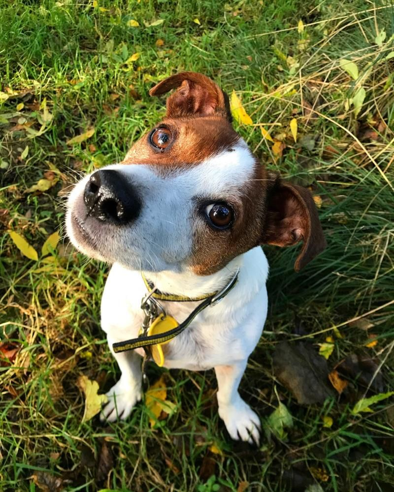 Rescue Dog Jack Russell Terrier (JRT) Alfie Dogs