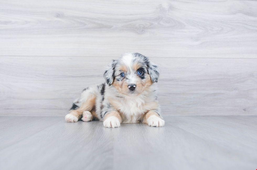 Mini Aussiedoodle Puppies for Sale Ohio Comfortable US