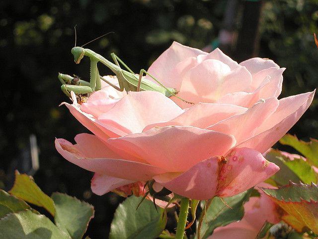 Mantis on rose Rose, Botanical gardens, Garden center