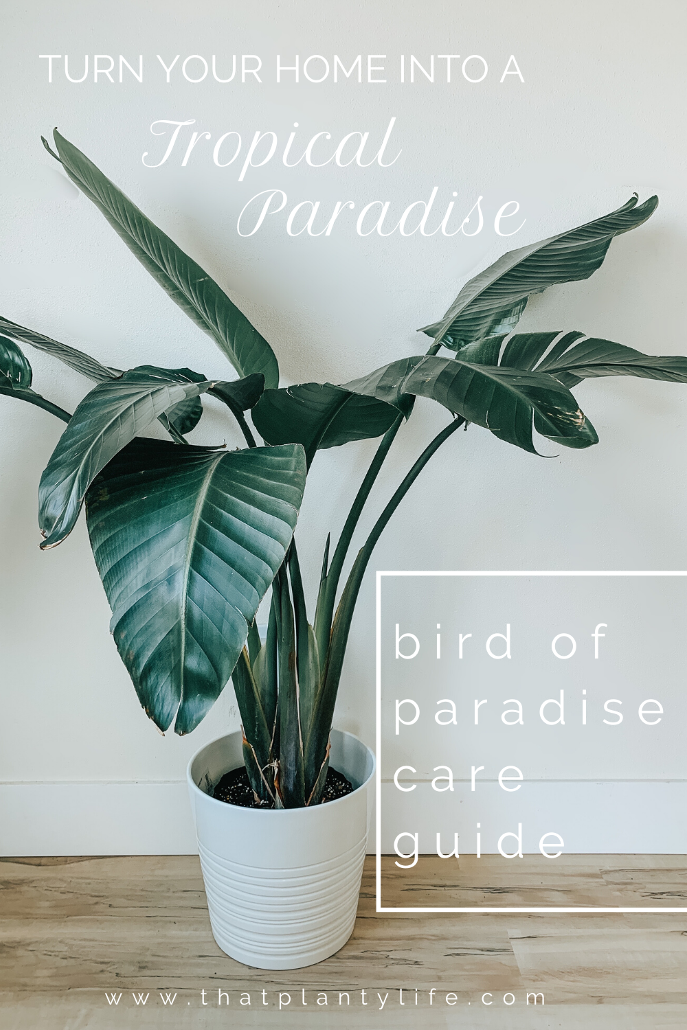 Bird Of Paradise Complete Care Guide That Planty Life In 2020 Birds Of Paradise Plant Paradise Plant Birds Of Paradise