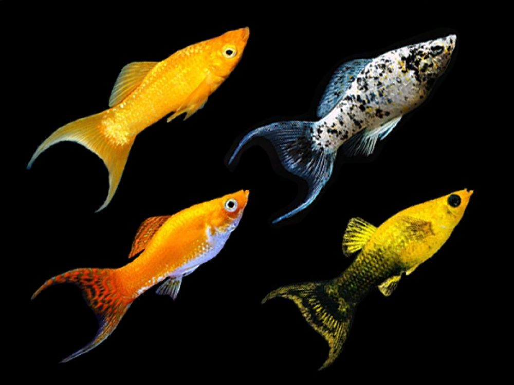 Assorted Lyretail Mollies Order From Https Fishplace Eu Product Assorted Lyretail Mollies Price Starts From 0 60 Gbp In 2020 Molly Fish Tropical Fish Aquatic Plants