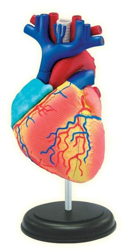 4d Heart Anatomy Main Photo Cover Homeschool Pinterest