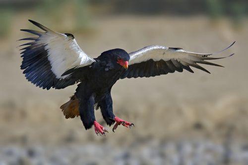 Bateleur Eagle, coming in for landing, underside of wings