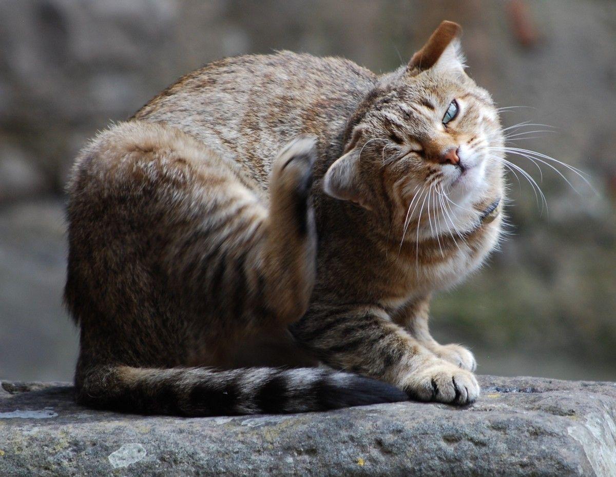 Hasil gambar untuk pinterest cats scratch ear