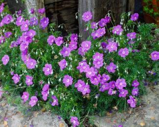 Geranium Incanum Cranesbill Gardening Drought Tolerant
