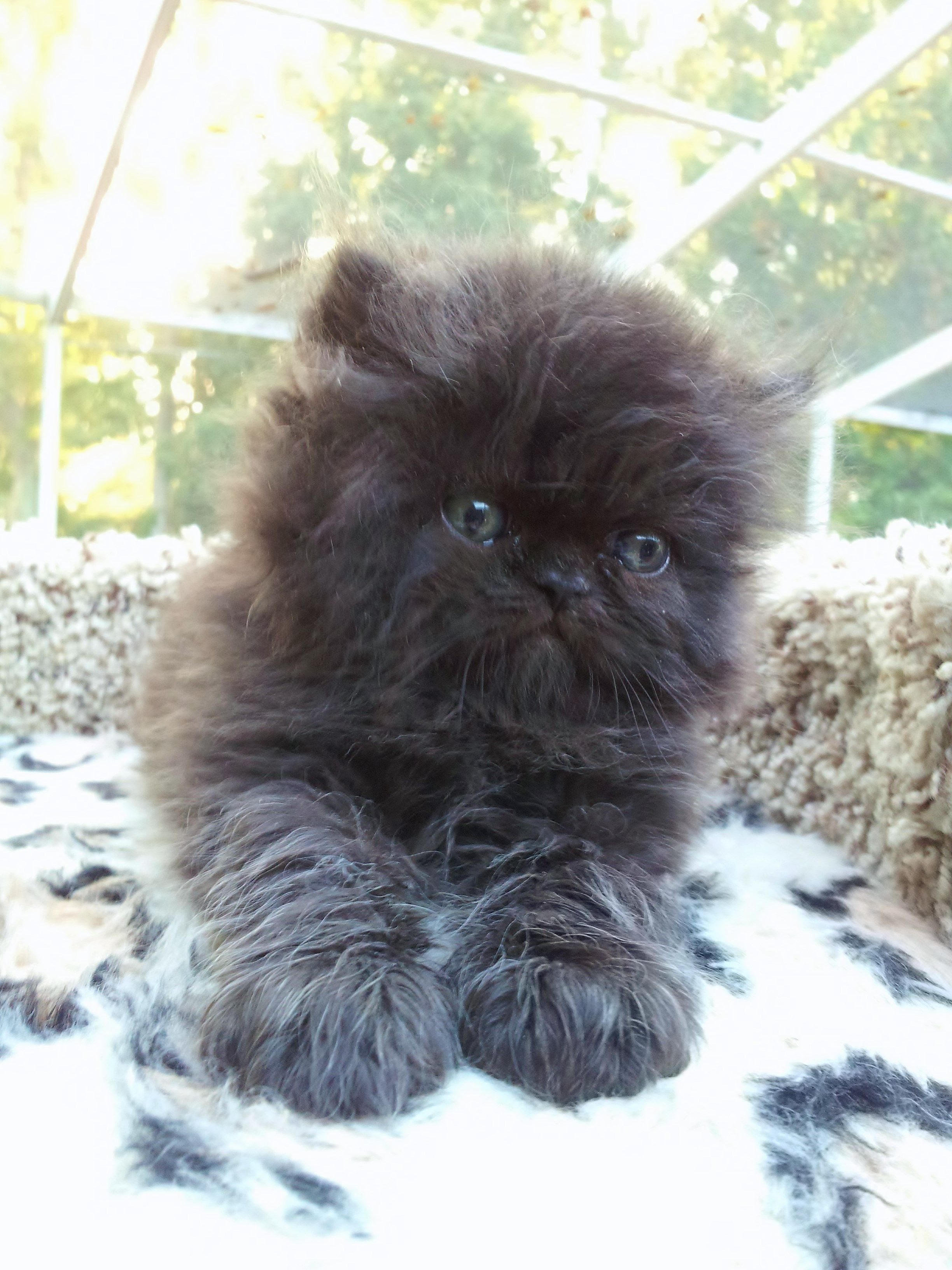 Black Persian Cat Kitten Baby Cats Cats And Kittens Beautiful Cats