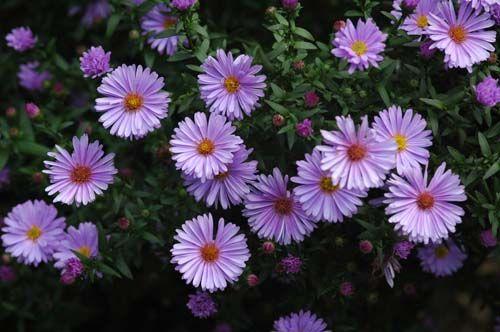 Pictures Of Flowers Aster Greek Flowers Flowers Perennials Flower Garden Plants