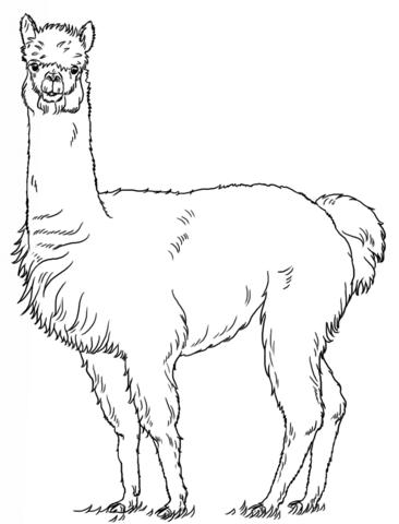 Alpaca Coloring Page Alpaca Drawing Drawing Tutorial Llama Drawing
