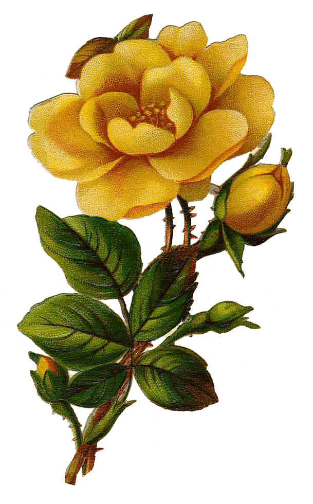 Leaping Frog Designs Vintage Yellow Rose Free PNG Image