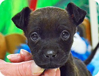 Searcy, AR - Chihuahua Mix. Meet Bitsy, a puppy for adoption. http://www.adoptapet.com/pet/12295851-searcy-arkansas-chihuahua-mix