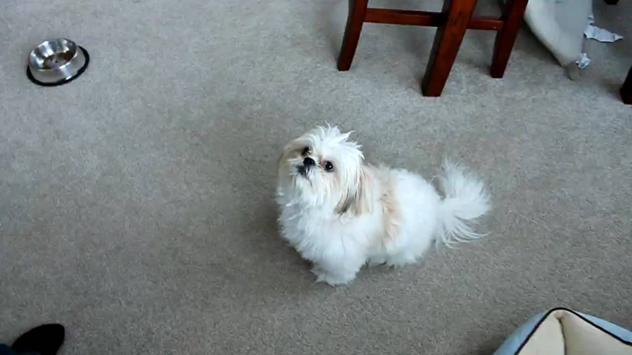 Shih Tzu Training Tricks Dogs Pinterest Shih Tzu Dogs And Puppies