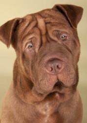 Adopt Woodie On Dogue De Bordeaux Bordeaux Dog De Bordeaux