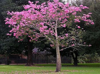 My favorite tree floss silk tree gardens flora y fauna my favorite tree floss silk tree mightylinksfo