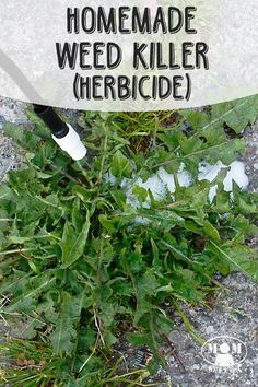 """Do you have weeds growing in your driveaway or along your sidewalks that you just hate? Here is a natural, homemade weed killer that will help  you do it without the harmful chemicals of the commercial stuff you get at the store.  // <a href=""""http://Momwithaprep.com"""" rel=""""nofollow"""" target=""""_blank"""">Momwithaprep.com</a>"""